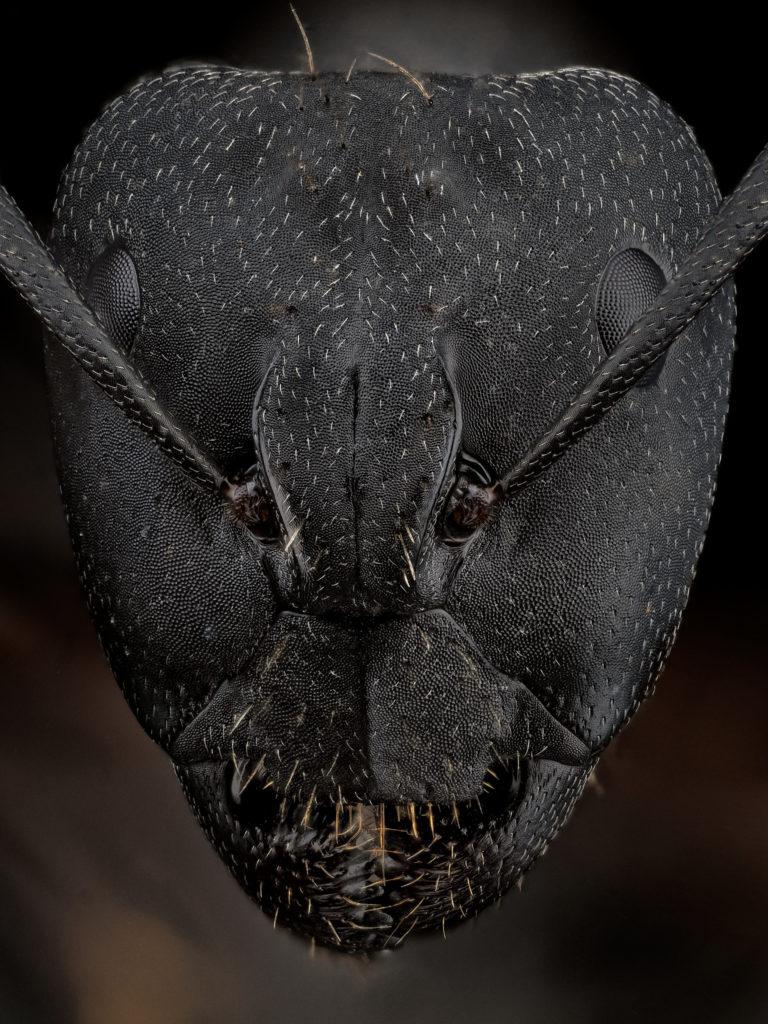 portrait de fourmi Camponotus cruentatus