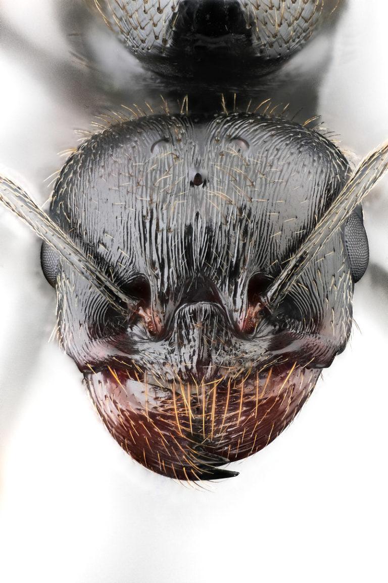 fourmi moissonneuse Messor