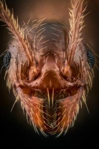Portrait de fourmi Pheidole pallidula