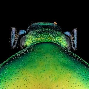 Eupotosia affinis, une brillante cétoine