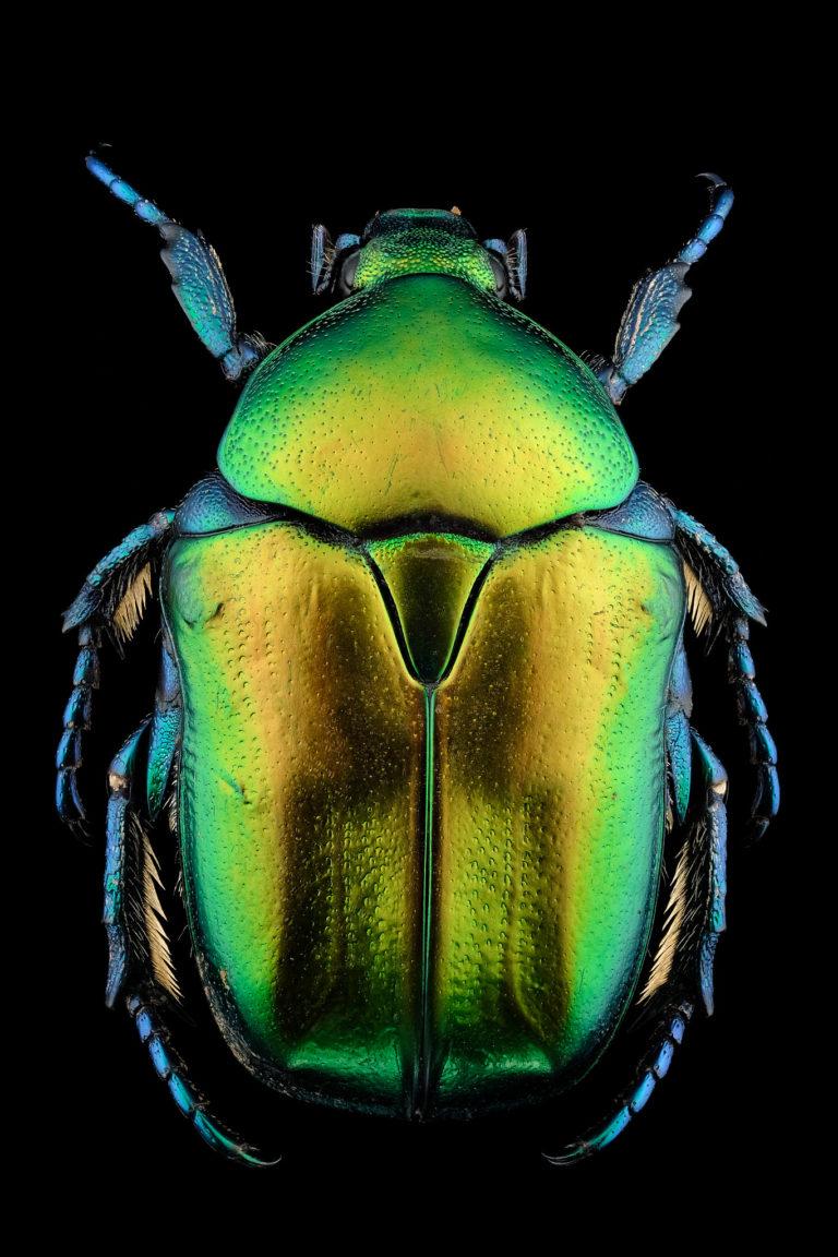 Cétoine Eupotosia affinis vue de dessus