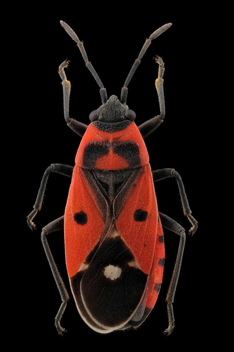Punaise Melanocoryphus albomaculatus