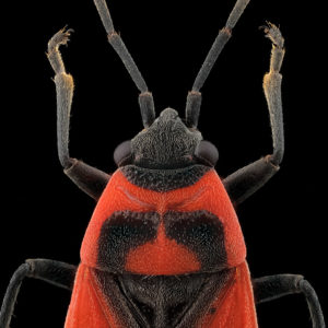 Melanocoryphus albomaculatus, le faux gendarme