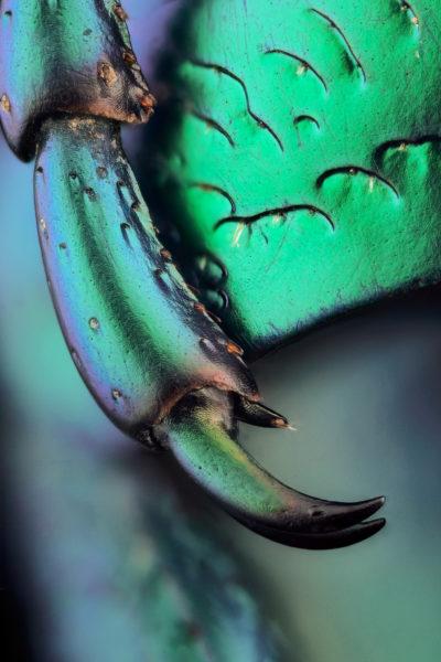 patte de cétoine Eupotosia affinis