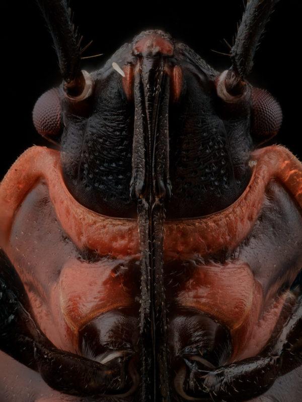 Le portrait de Pyrrhocoris apterus